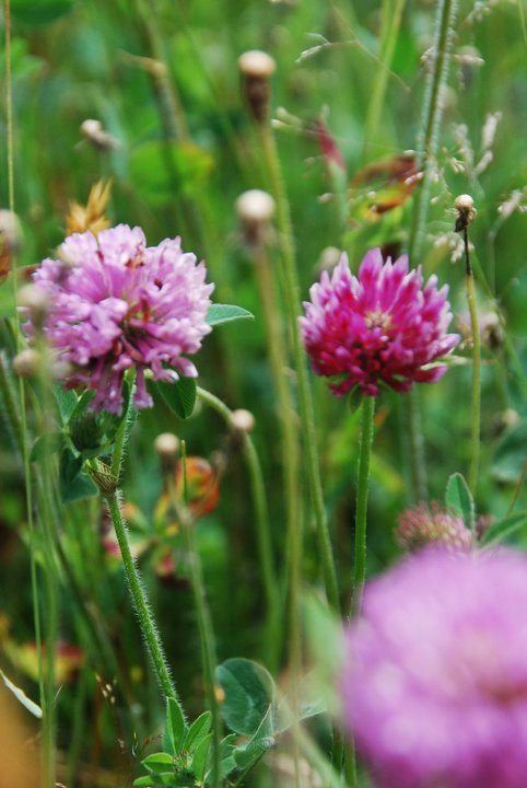 Red Clover Is Not Just For Healthy Women Who Want To Conceive It Is