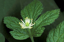goldenseal flower
