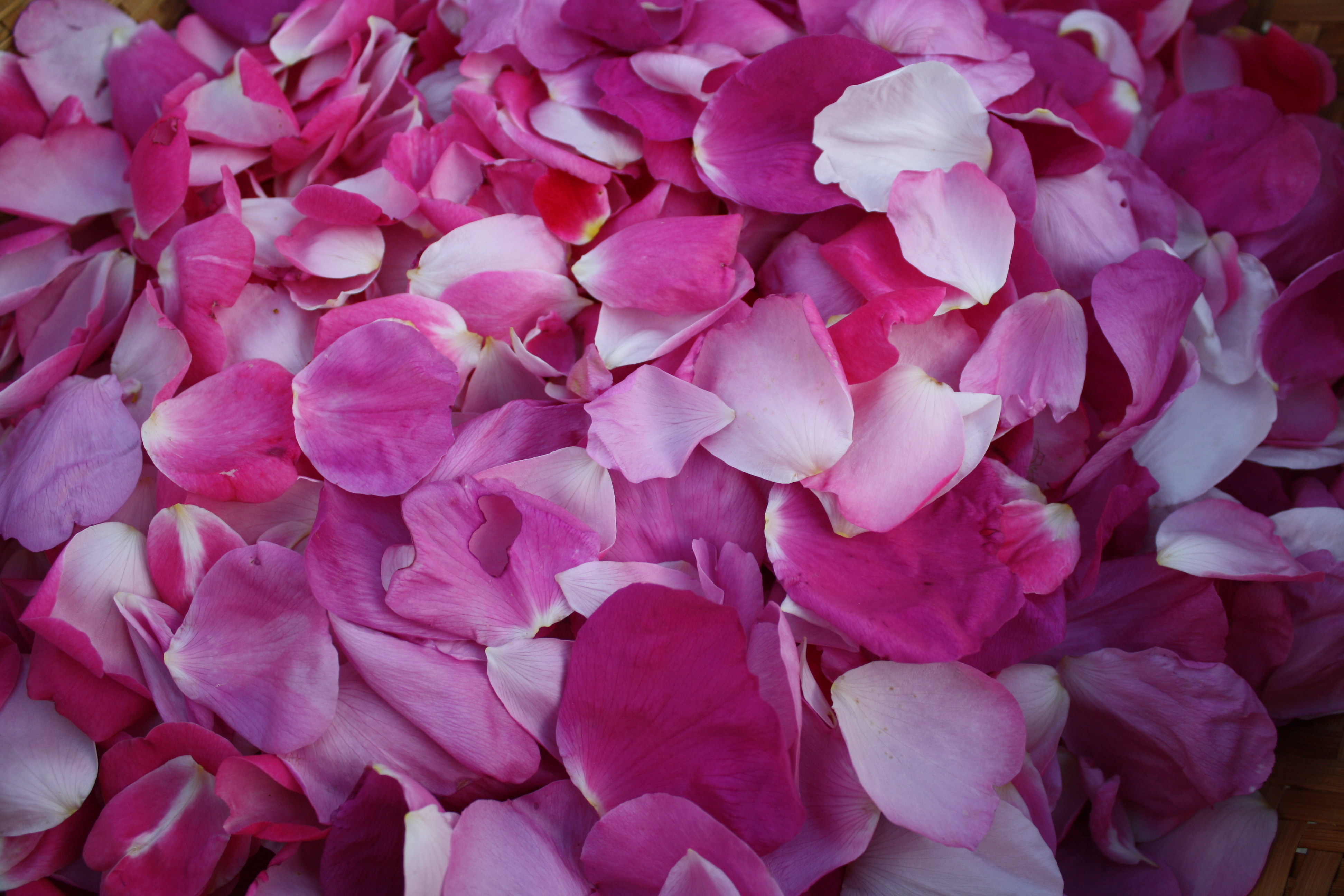 Dried rose petal chinese rose flower rose tea buy rose petal - Smelling Roses Makes Most Of Us Feel Very Good The Aroma
