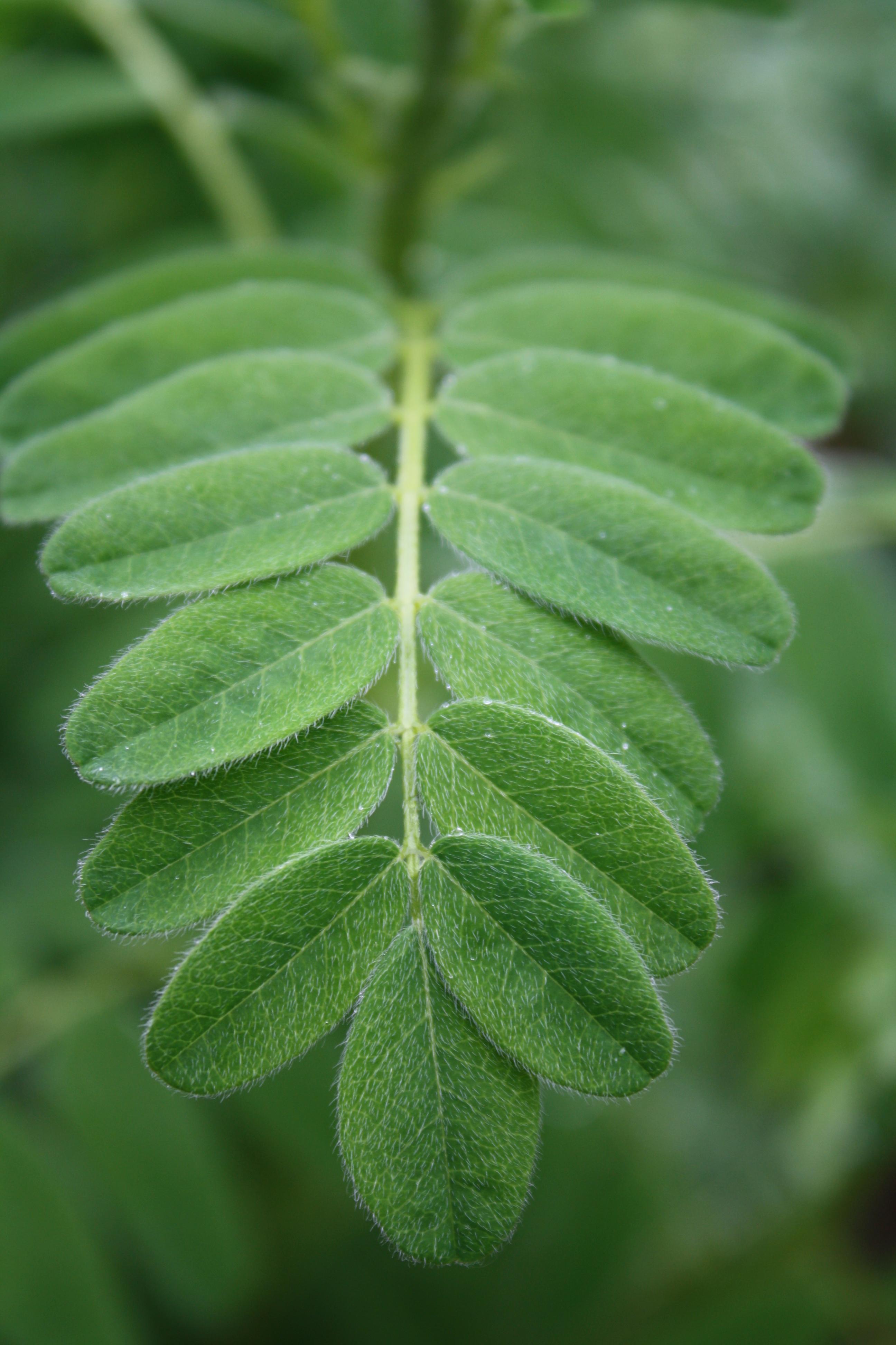 Astragalus Membranaceus Way Of The Wild Heart
